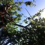 Working In An Apple Tree (2)