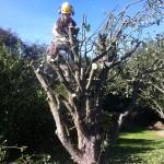 Dismantling An Apple Tree
