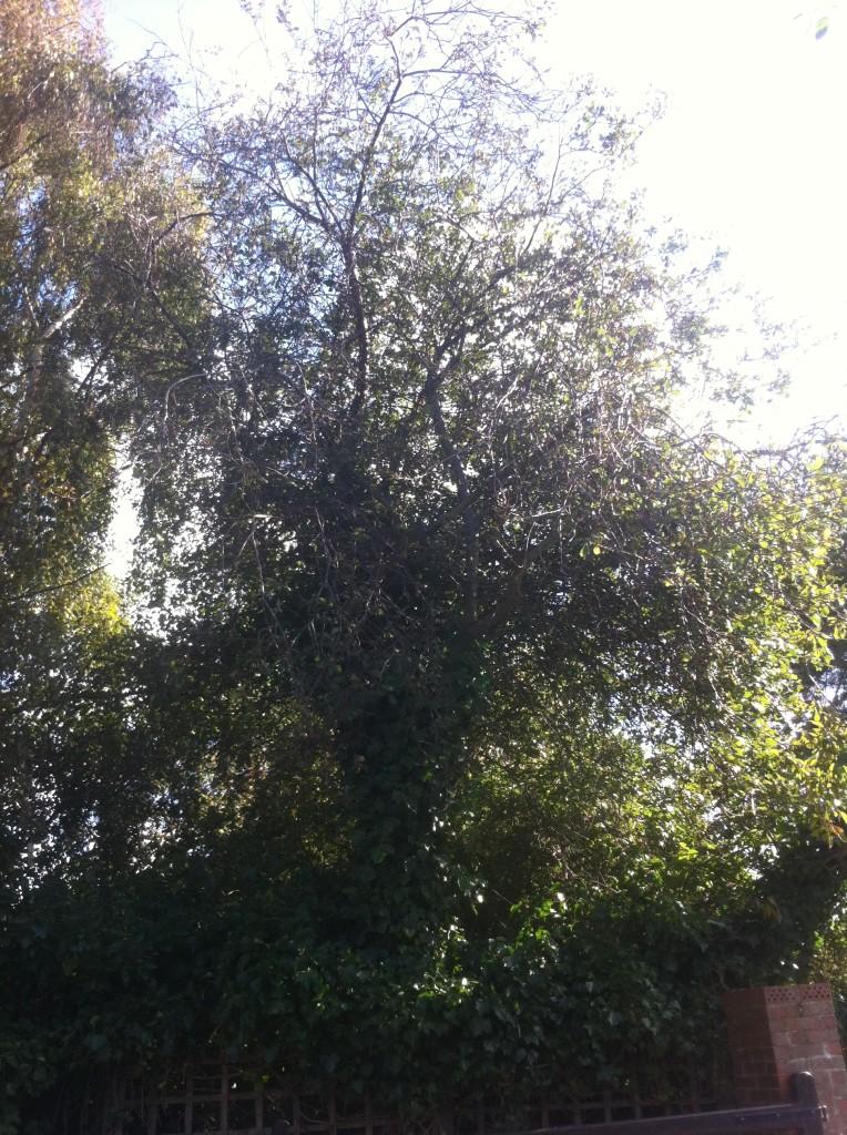 BEFORE - Branches Overhanging Neighbours Garden - Nov '13