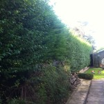 BEFORE - Large Privet / Leylandii Hedge - Oct '13