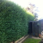 BEFORE - Large Privet Hedge - Oct '13