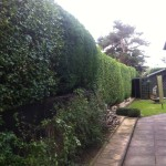 AFTER - Large Privet / Leylandii Trimmed - Oct '13