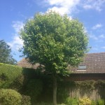 Young Sycamore In Leaf After Prune