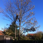 Taking The Small Branches Off A Sycamore