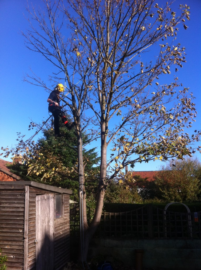 BEFORE - Starting To Dismantle Sycamore - Oct '13