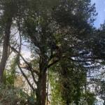 Working In A Holm Oak