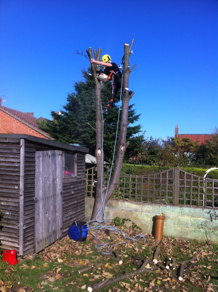 Taking Main Stems Down With Chainsaw