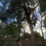 Last Few Cuts On A Large Pine Branch