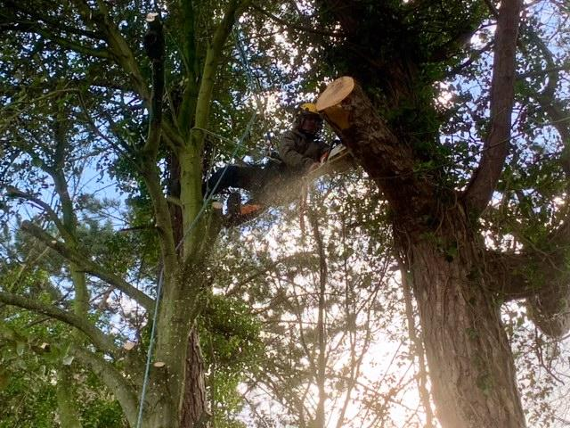 Cutting A Pine Branch Roped Into A Holm Oak