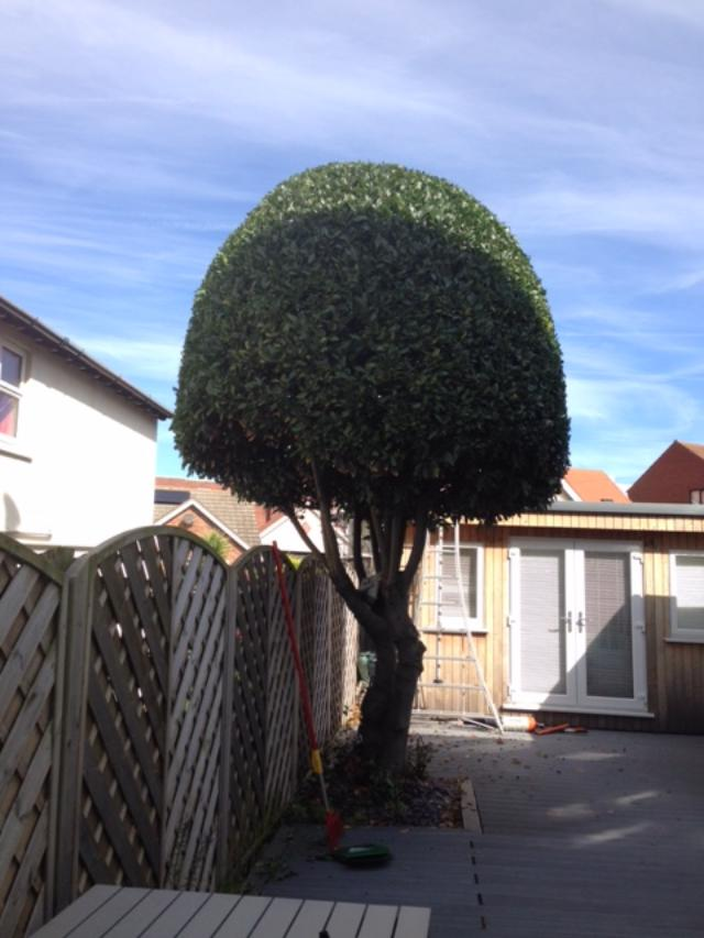 AFTER - Bay Tree Looking Very Neat, Tidy And Even  - Sept '19