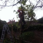 Jamie dismantling a small Lilac tree