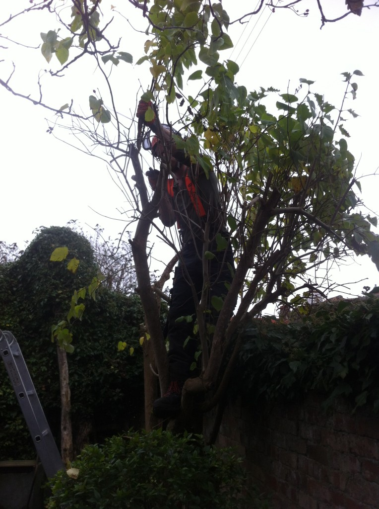 Jamie making cuts on a small Lilac tree