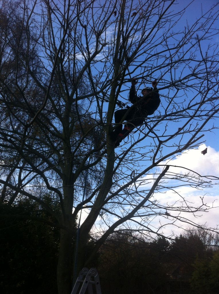 Removing Overhanging Branches From A Small Sycamore