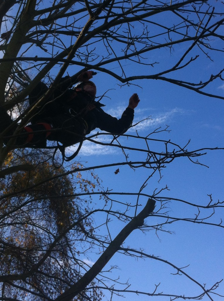 Removing Small Branches From A Sycamore
