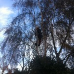 Taking Overhanging Branches Off A Birch