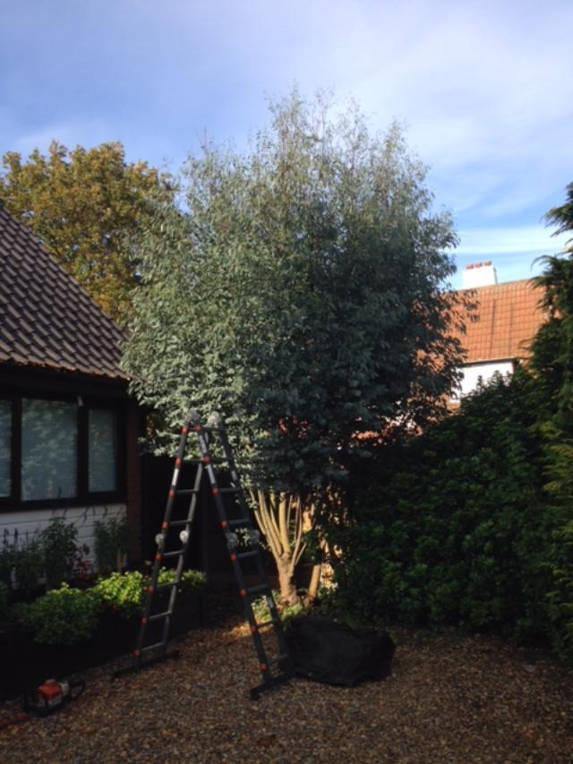 BEFORE - Small Eucalyptus Tree Looking Straggly After Its Summer's Growth - Nov '19