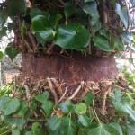 Ivy Cut To Kill It Off