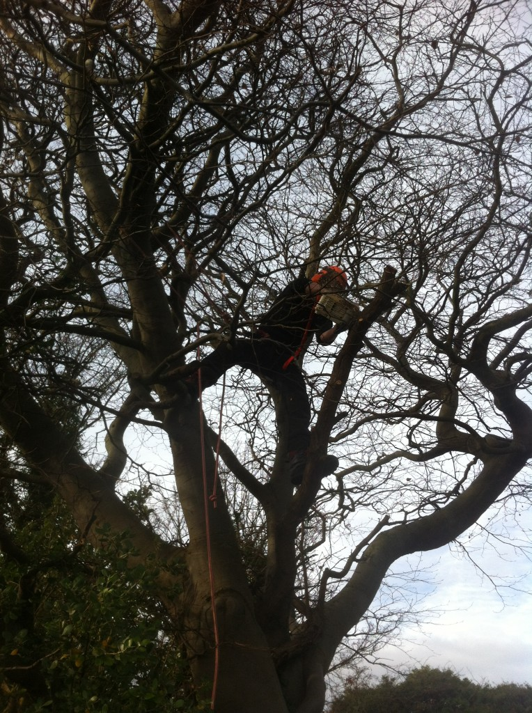Jamie Working With The Chainsaw on A Large Beech