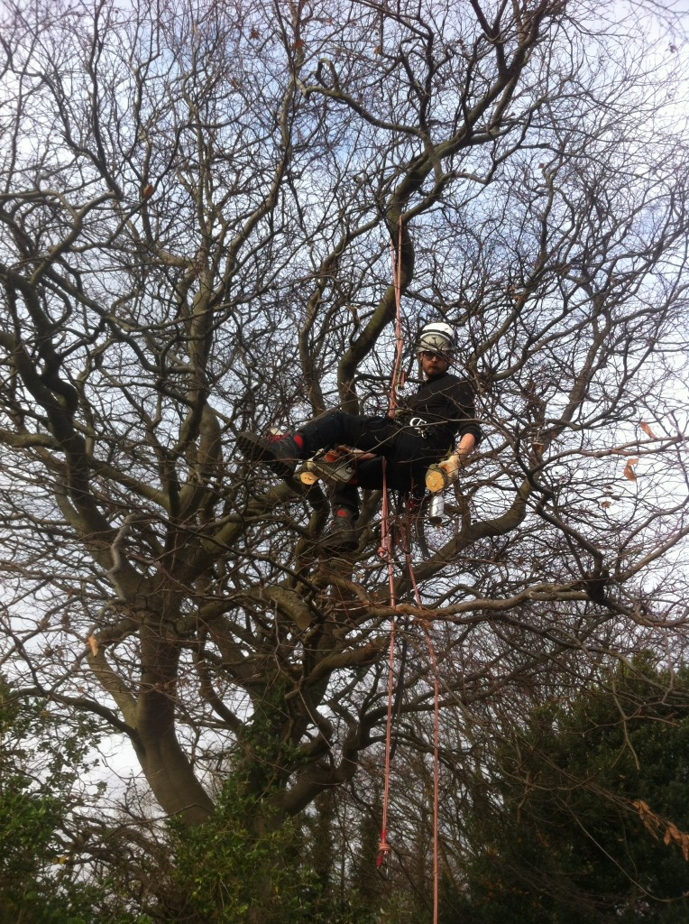 Jamie At Work On A Large Beech