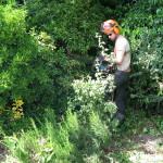 Jamie shaping a large bush