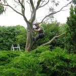 Jamie working in a Eucalyptus Tree