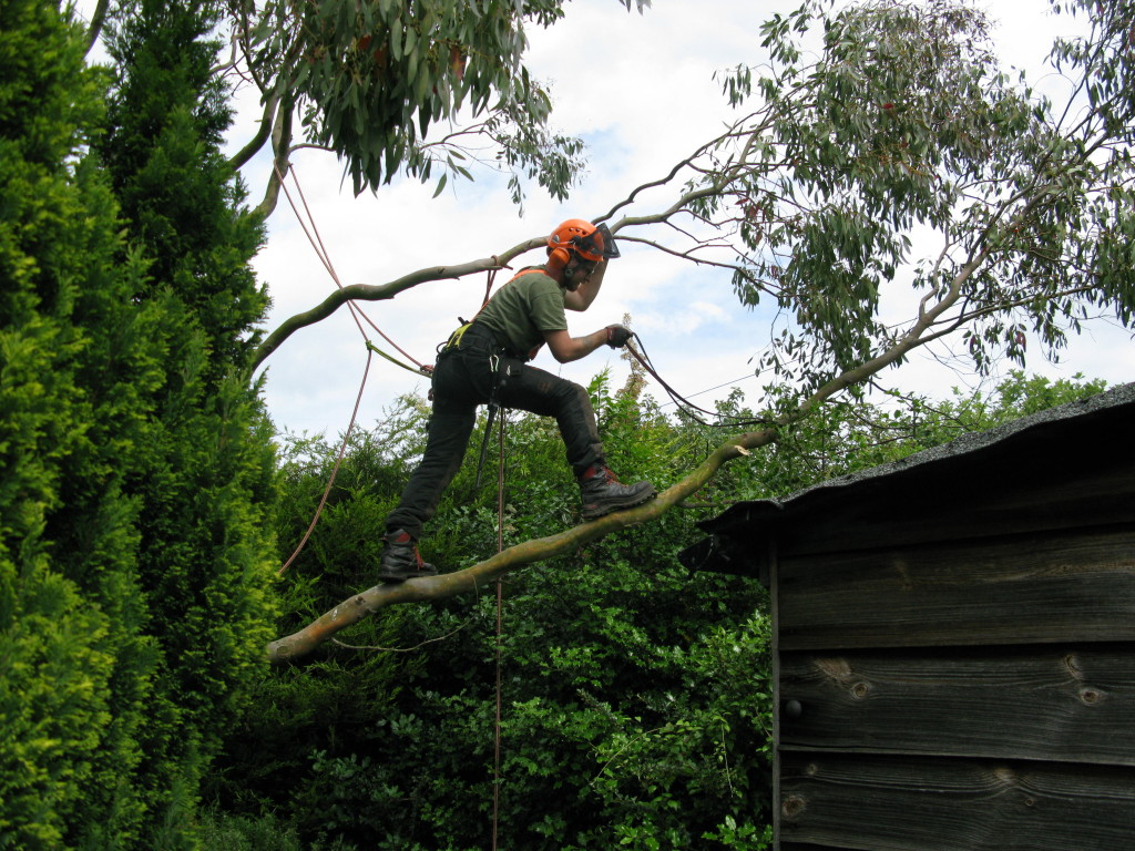 Jamie removing a branch from a Eucalyptus Tree