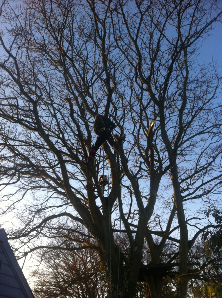 Removing Lower Branches From A Large Sycamore