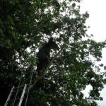 Dismantling a multi-stemmed Hawthorne