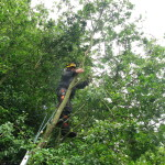 Working in a Hawthorne tree