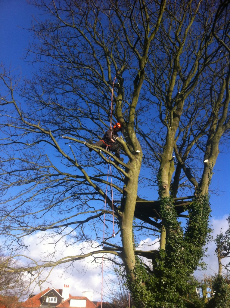 Jamie Cutting Off Lower Branches On A Large Sycamore