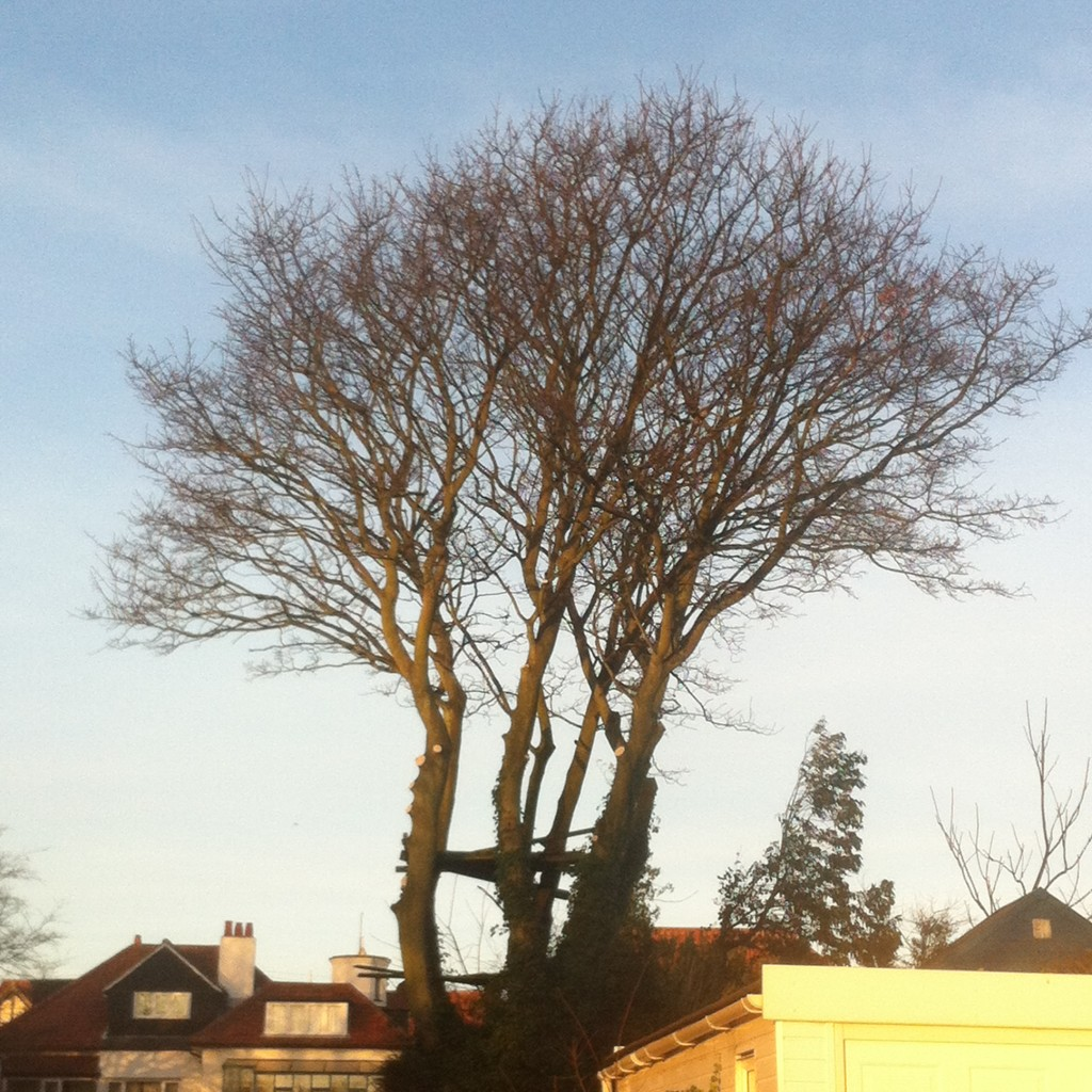 Large Sycamore After Crown Lift