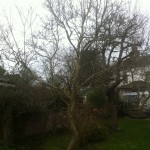 BEFORE  - Small Magnolia in need of tidying - Feb 14