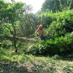 Jamie removing Ivy after felling a Birch