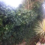 BEFORE - 15 Year old Ivy hedge covering garden fence - Feb'14