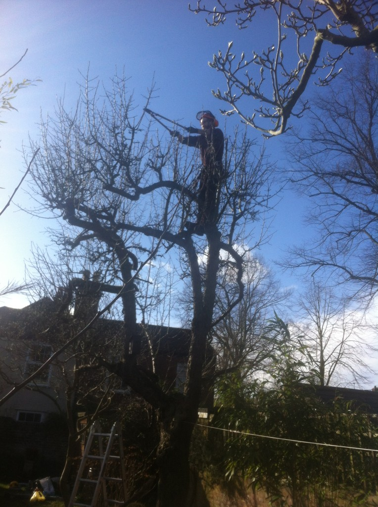 Jamie using loppers on an old Pear Tree