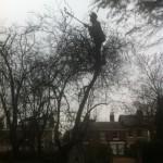 Jamie reducing the height of a Prunus Tree