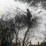 Jamie using the extended loppers  - Prunus Tree