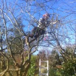 Crown Reduction On An Apple Tree