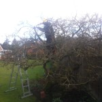 Reducing An Old Apple Tree