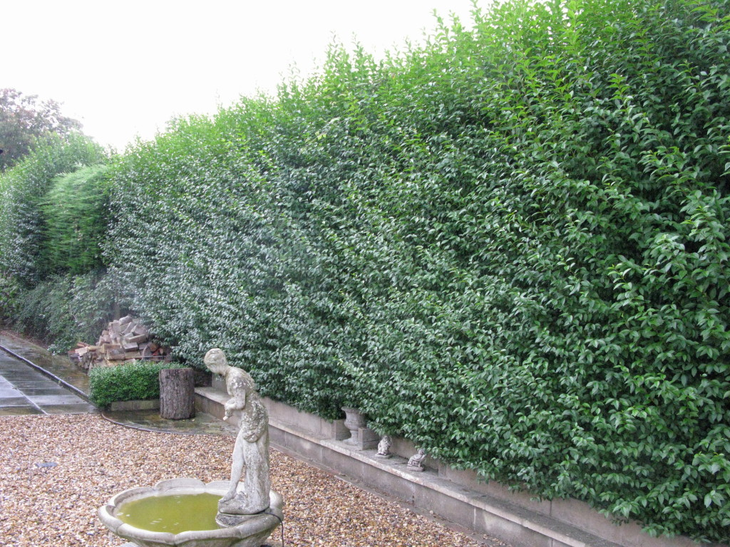 BEFORE - Large Privet & Leylandii Hedge Ready For Its Annual Trim - Sept '15