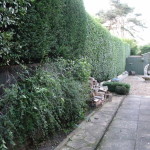 AFTER - Large Privet & Leylandii Hedge Trimmed & Looking Very Tidy  - Sept '15