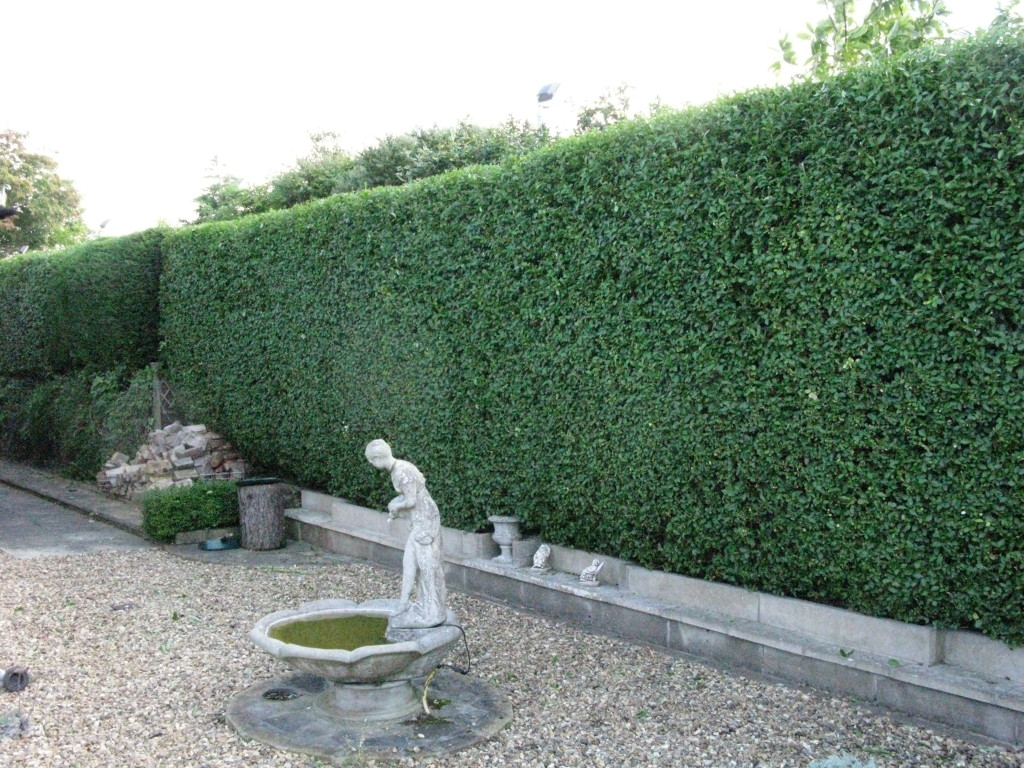 AFTER - Large Privet & Leylandii Hedge Now With Flat Top & Neat Sides - Sept '15