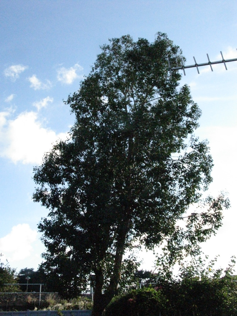 BEFORE - Tall Skinny Eucalyptus Tree Requiring A Height Reduction - Jan '16