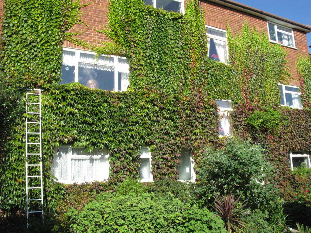 BEFORE - Creeper In Leaf Taking Over Rear Wall Of House In Need Of A Good Trim - Sept '16