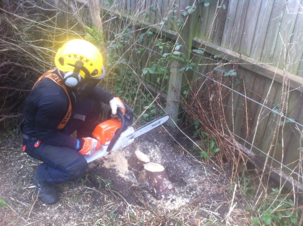 Last cut on a Leylandii stump