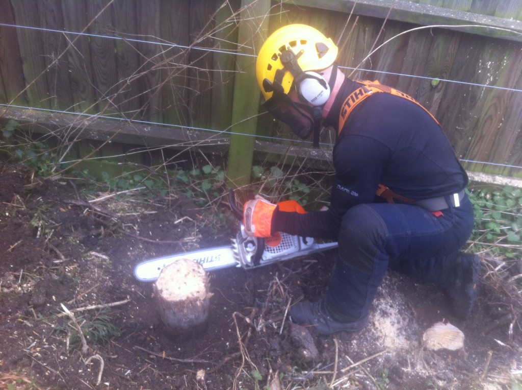 Final cut on one of the hedge stumps