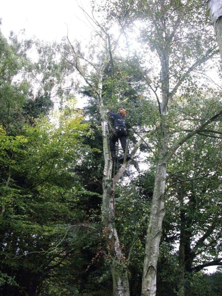 Jamie climbing a large Birch