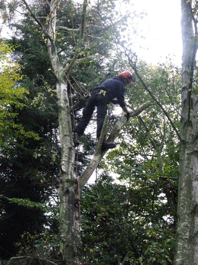 Jamie removing a branch from a large Birch
