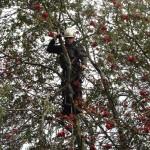 Climbing a thin branch in a Rowan Tree