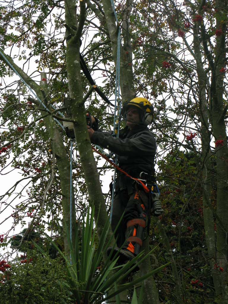 Taking part of the stem off with the tree saw